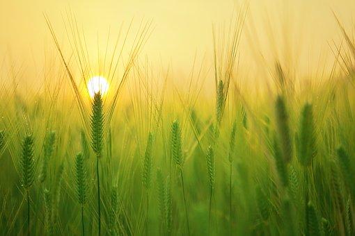 barley-field-1684052__340