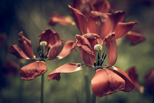 tulips-2277939__340