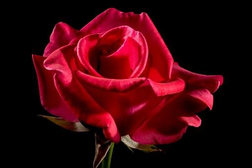 red-rose-320891__340