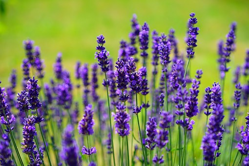 lavender-1117275__340